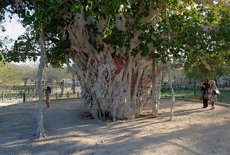 Green tree, Kish Island, Iran